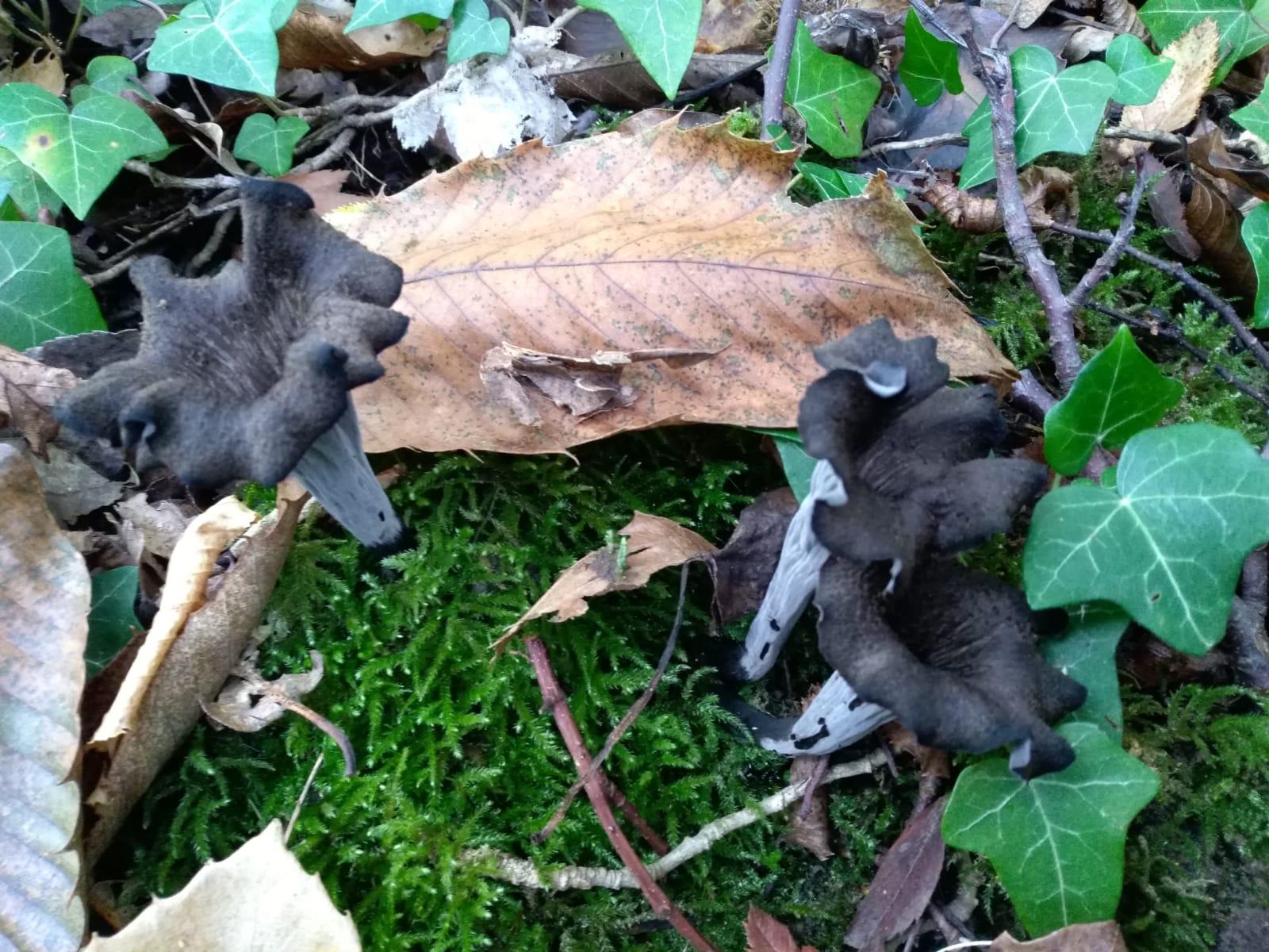 Trombette dei morti, funghi